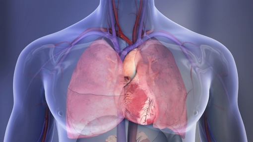Heart+and+lungs+illustration_mid